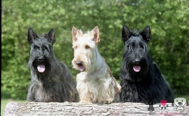 tres perros de la raza scottish terrier