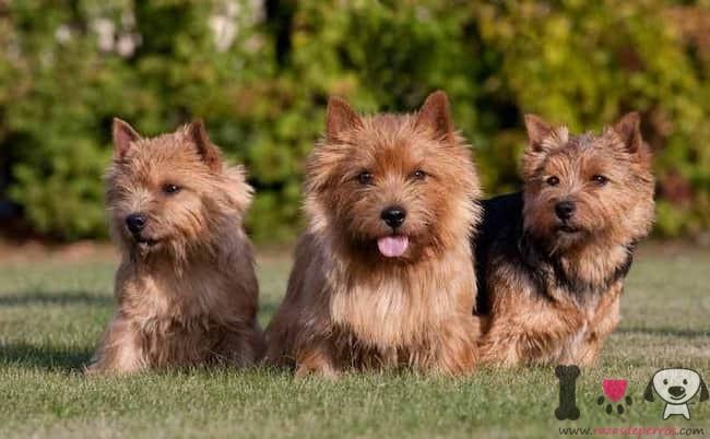 tres perros terrier en el campo