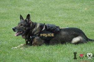 adiestramiento perro policía pastor