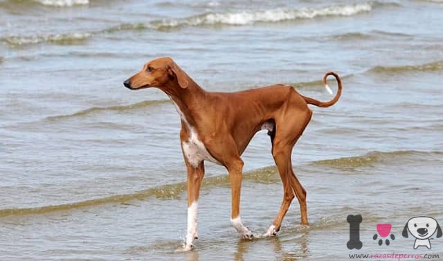 azawakh perro