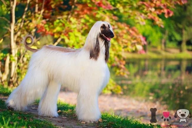 lebrel afgano top 10 de los perros más costosos