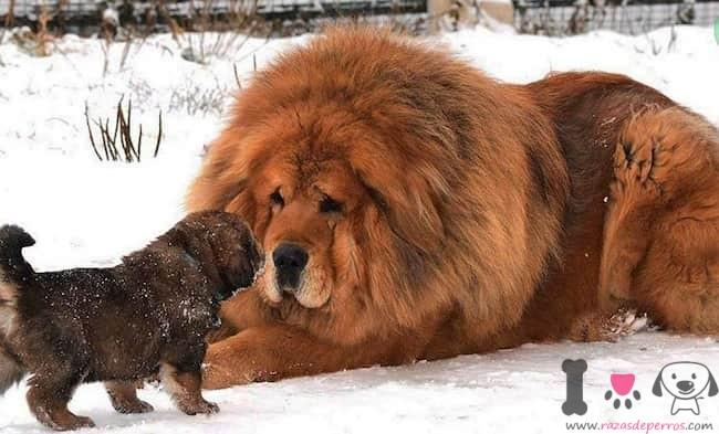 mastín tibetano con su cachorro en la nieve