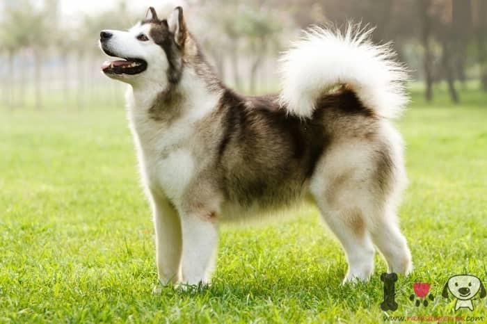 perro esquimal canadiense de mucho valor