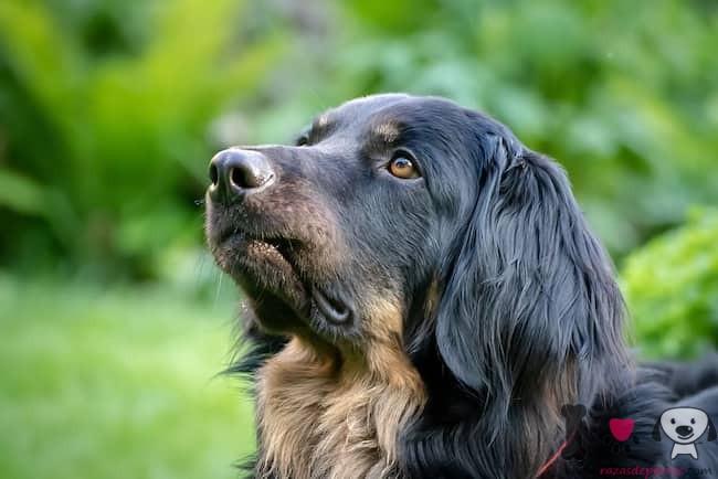 perro grande de pelo largo negro