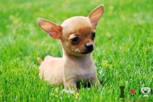 perro pequeños que no crecen