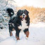 Perro de las nieves