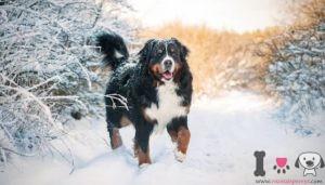 razas de perros de las nieves