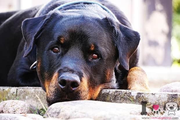 rottweiler uno de los perros más caros